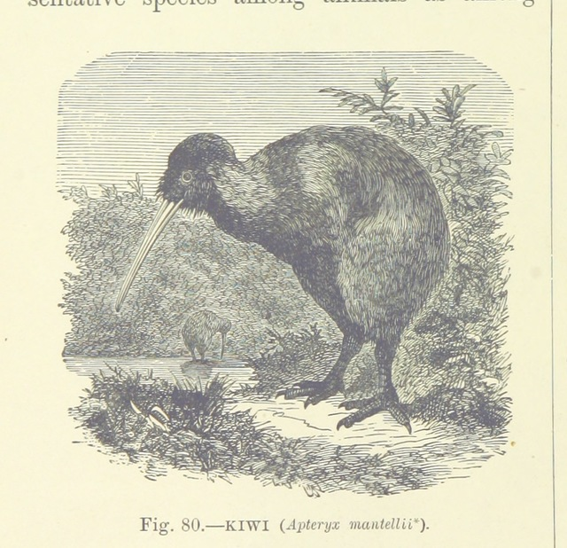 """Kiwi from """"[Our Earth and its Story: a popular treatise on physical geography. Edited by R. Brown. With ... coloured plates and maps, etc.]"""""""