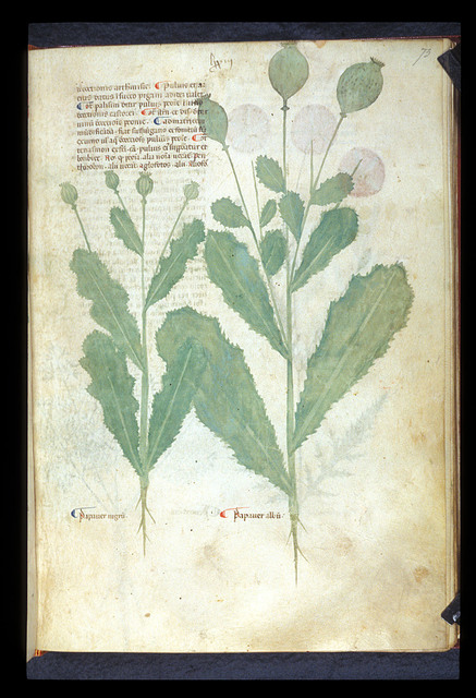 Papaver and Opium from BL Eg 747, f. 73
