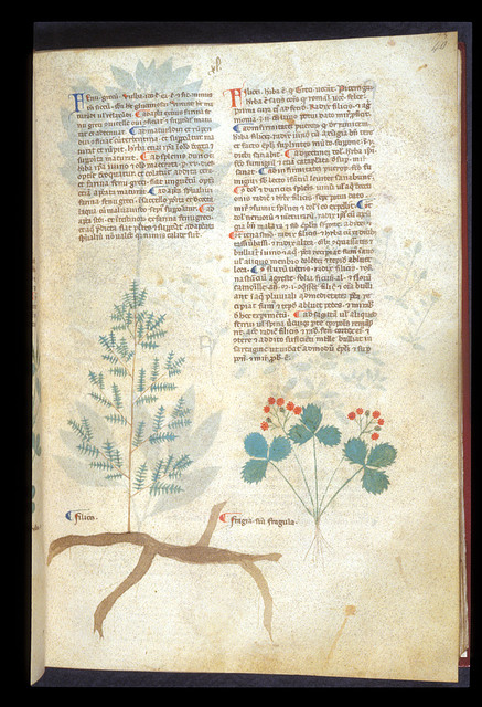 Polypody and Wild Strawberry from BL Eg 747, f. 40