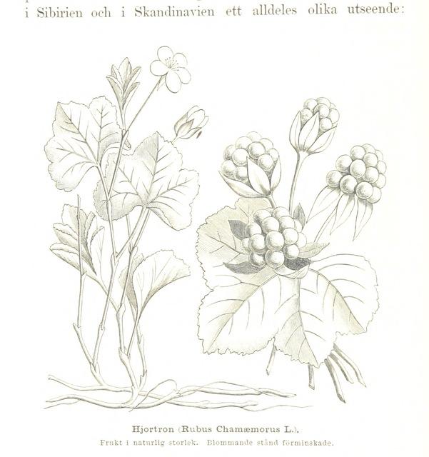 """Rubus chamaemorus from """"Vegas färd kring Asien och Europa, jemte en historisk återblick på föregående resor längs gamla verldens nordkust. [Illustrated.]"""""""