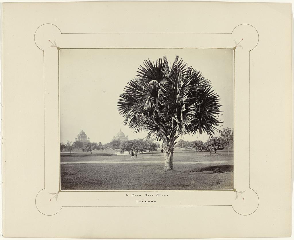 A Palm Tree Study, Lucknow