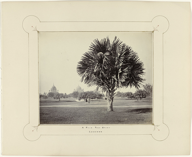 A Palm Tree Study, Lucknow