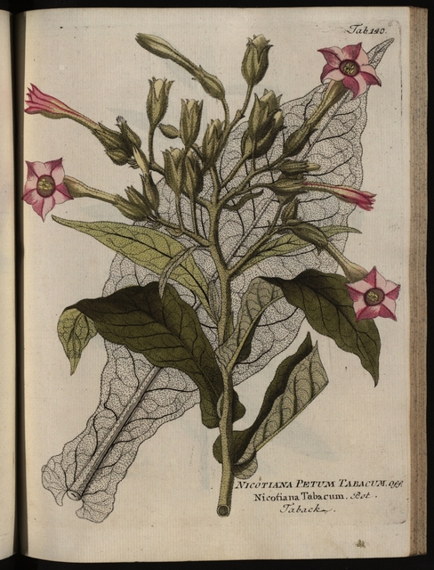 Economic plants  Curing tobacco (Nicotiana Tabacum L
