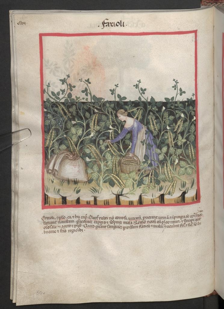 Cod. Ser. n. 2644, fol. 50v: Tacuinum sanitatis: Faxioli