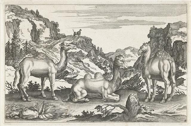 Dromedarissen en een kameel