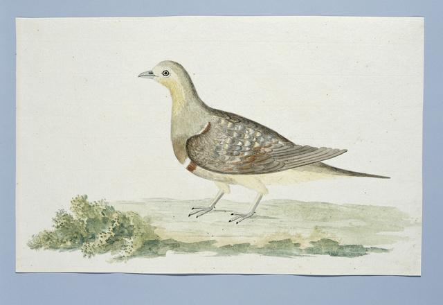 Dubbelbandige patrijs (Pterocles namaqua), of een duif; het mannetje