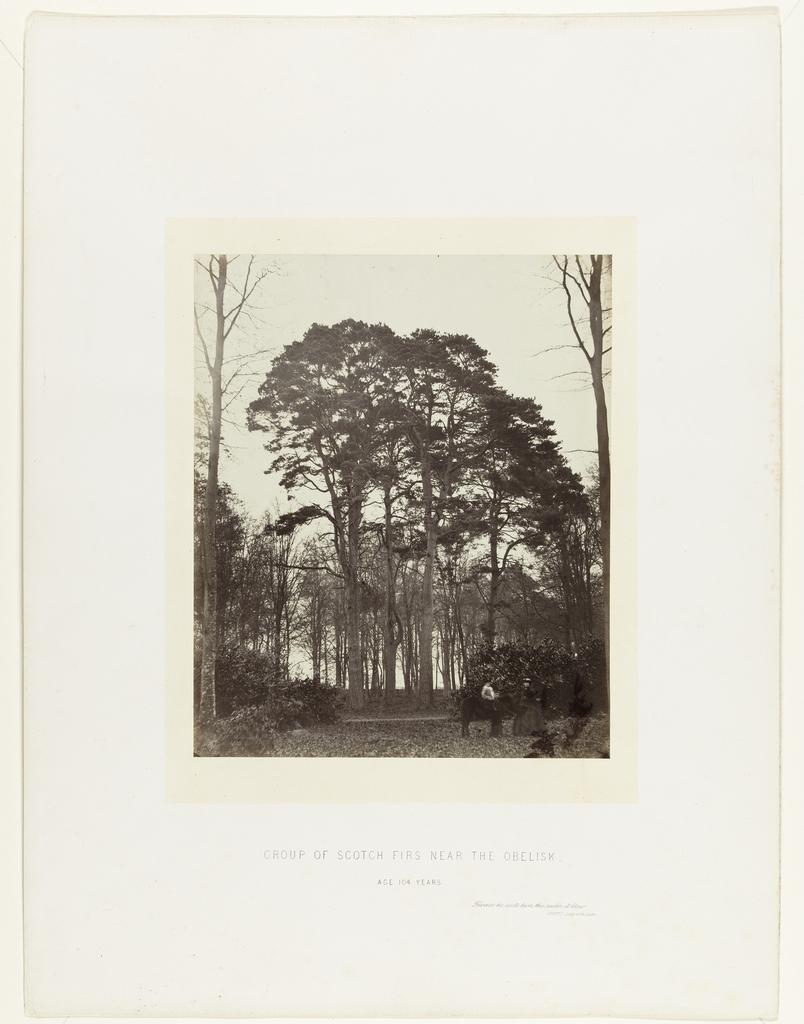 Groep naaldbomen vlakbij de obelisk op Windsor Estate