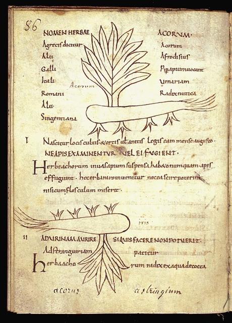 Herba acorus (sweet flag)