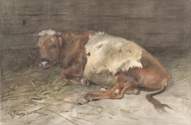 Liggende jonge stier
