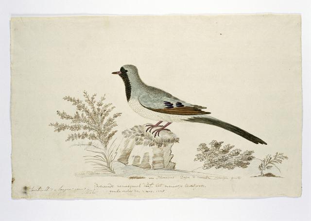 Namaqua duif (Oena capensis); het mannetje, op ware grootte