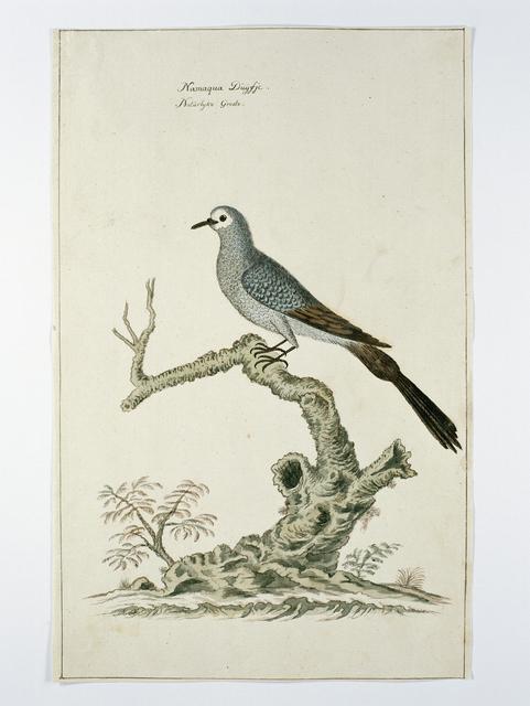 Namaqua duif (Oena capensis), op ware grootte