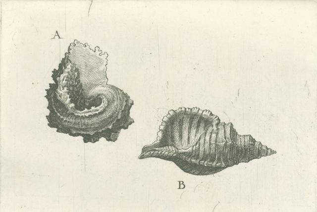 Schelpen, angaria delphinus (A) en cymatium pileare (B)