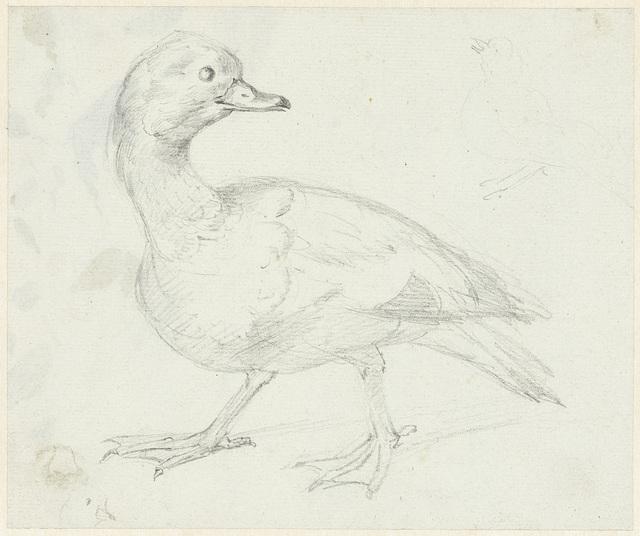 Studie van een eend en twee andere vogels