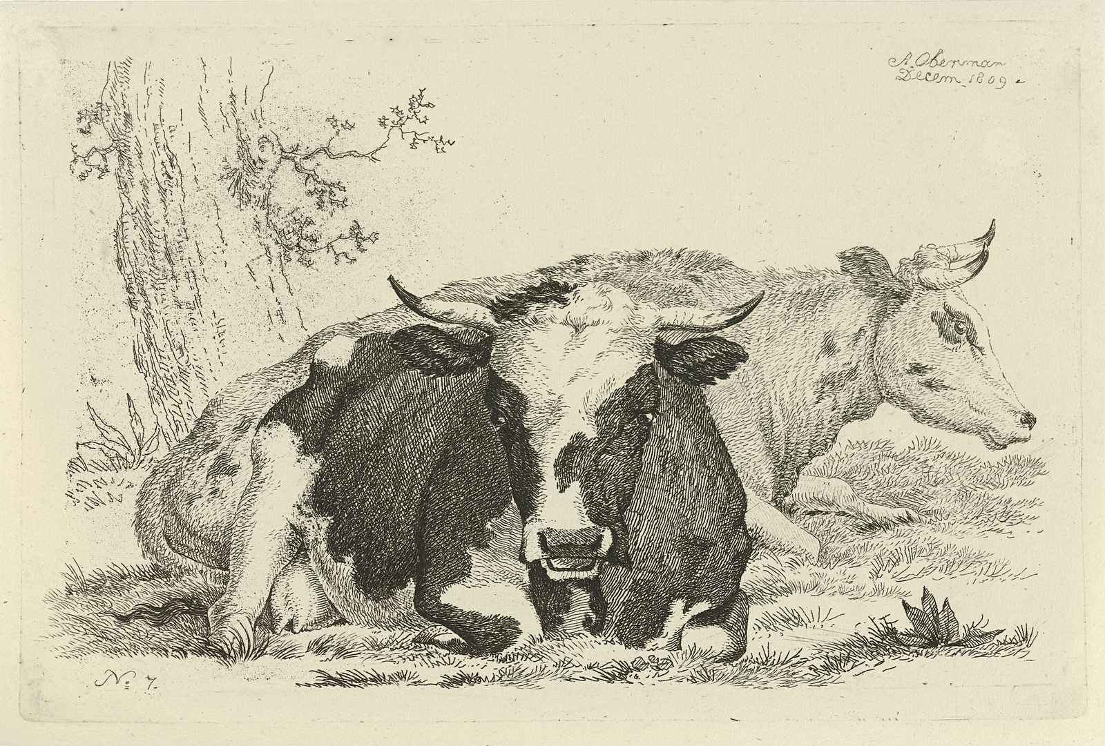 Twee liggende koeien voor een boom