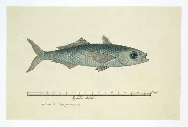 Vis aan de Kaap gevangen