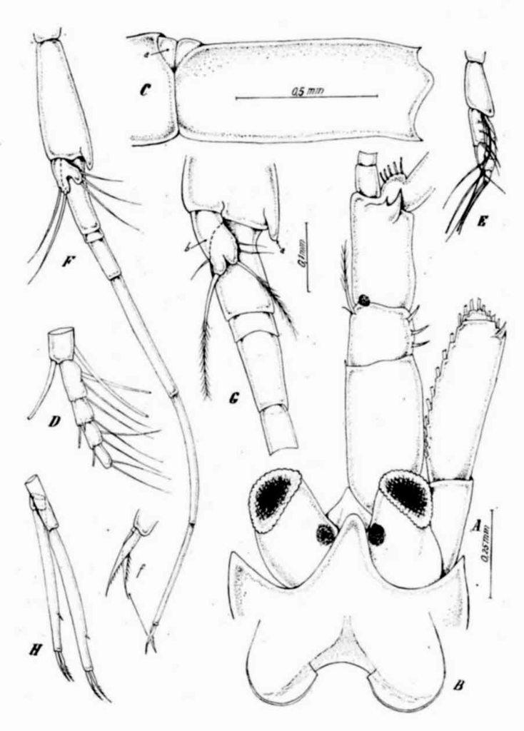 Haplostylus estafricana