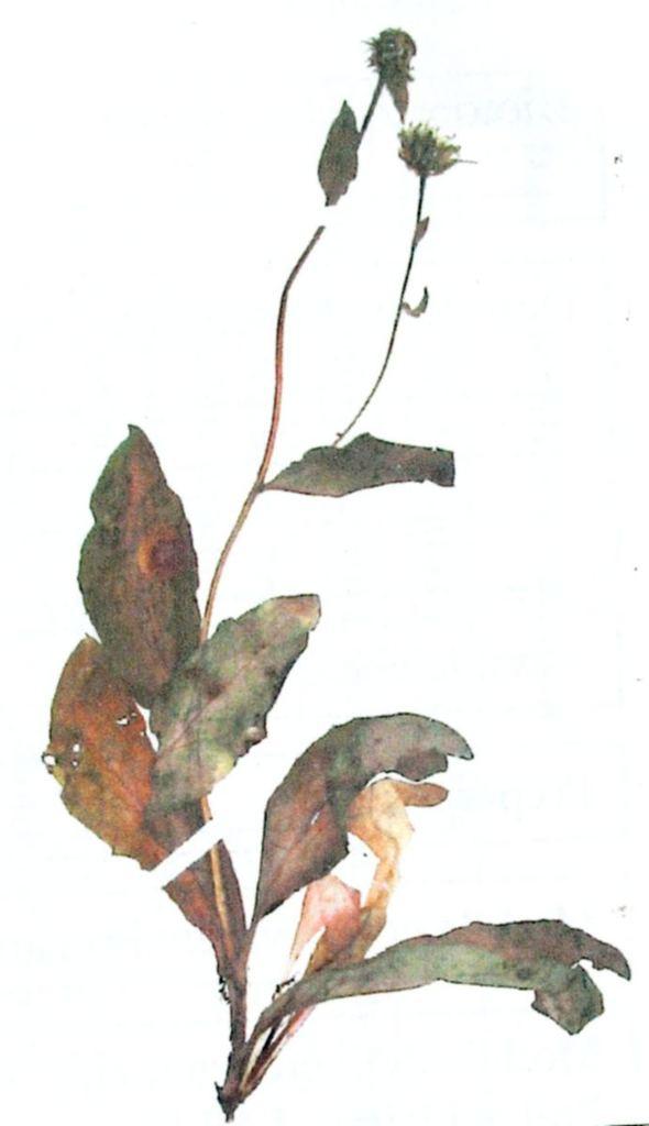 Hieracium pojorâtense