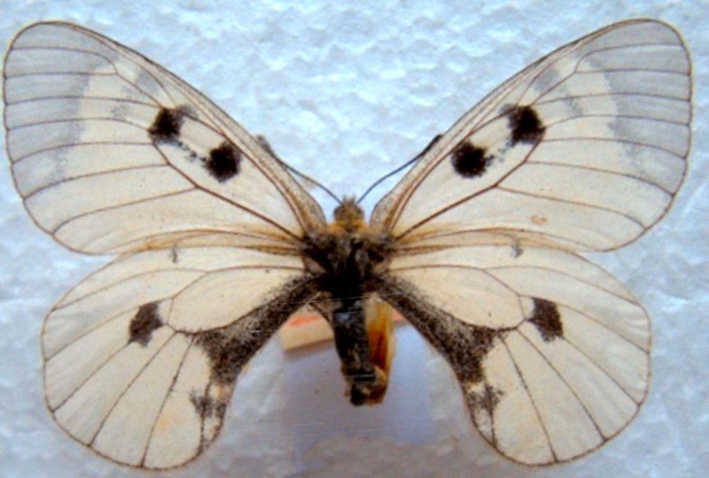 Parnassius apollo (Linnaeuas, 1758) ssp. distinctus Bryk & Eisner, 1930